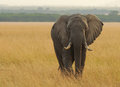 Masai mara elephant an african loxodonta africana on the national reserve safari in southwestern kenya Stock Image