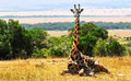 Masai Mara Giraffe Royalty Free Stock Photo