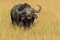 Masai Mara Water Buffalo Royalty Free Stock Photo