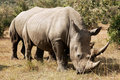 Masai Mara White Rhinoceros Royalty Free Stock Photography