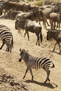 Masai mara zebra with a herd of wildebeests in the background on the in kenya Royalty Free Stock Photo