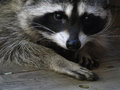 Masked Bandit - Raccoon Royalty Free Stock Photo