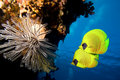 Masked Butterfly Fish Stock Images