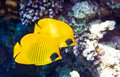 Masked butterflyfish Chaetodon semilarvatus Royalty Free Stock Photo