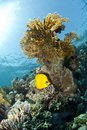 Masked butterflyfish on a tropical coral reef. Royalty Free Stock Photo
