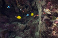 Masked butterflyfish under a reef plate in the Red Sea. Royalty Free Stock Photo