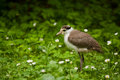Masked Lapwing Royalty Free Stock Photography