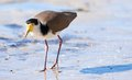 Masked lapwing on beach Royalty Free Stock Photography