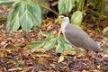 Masked lapwing a on the ground the bird is native to australia Stock Photos