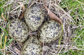 Masked Lapwing nest with four eggs Stock Photo