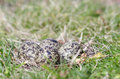 Masked Lapwing nest with four eggs Royalty Free Stock Photos