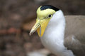 Masked lapwing orvanellus miles with yellow face and eyes and flaps around beak aka spur winged plover native to australia new Royalty Free Stock Image