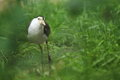 Masked lapwing the standing in water Royalty Free Stock Photography