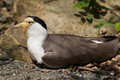 Masked lapwing x vanellus miles miles x also known as the plover wildlife animal Stock Photography