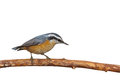 Masked Nuthatch Royalty Free Stock Image