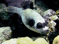 Masked puffer Royalty Free Stock Photo