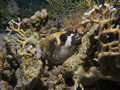 Masked puffer fish resting on a coral sleaping or piece at night dive Stock Photography