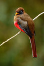 Masked Trogon, Trogon personatus, red and brown bird in the nature habitat, Bellavista, Ecuador Royalty Free Stock Photo
