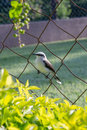 A masked water tyrant perching on a steel fence Stock Images