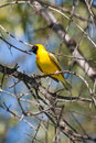 Masked weaver in tree a bird perched its Stock Photo