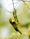 Masked Weaver Weaving Nest