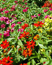 Mass of african daisies colorful annual in a flower bed late afternoon sun Stock Photos