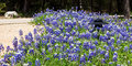 Mass of bluebonnets the texas state flower and a spring staple in the texas hill country landscape in bloom in a large natural Stock Photography
