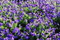 Mass of Petunias Royalty Free Stock Photo