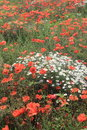 Mass of wild chamomile flowers surrounded with red poppies Stock Photo