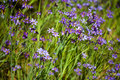 Mass of Wildflower Blue-eyed Grass Stock Photos