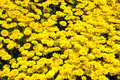 Masses of golden rays close up a bed anthemis tinctoria flowers marguerite oxeye chamomile Royalty Free Stock Image