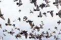 Masses Pigeons birds flying in the blue sky Royalty Free Stock Photo