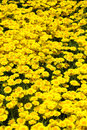 Masses of yellow chamomile close up a bed anthemis tinctoria flowers golden rays golden marguerite oxeye Royalty Free Stock Image