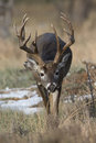 Massive brow tined whitetail buck gigantic with extra long tines with following scent trail of doe Royalty Free Stock Photos