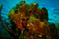 Massive coral head on the reef in roatan honduras visible are christmas tree worms sponges brain hard corals soft corals Stock Photography