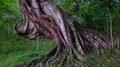 Massive tree a in the periyar national park india Royalty Free Stock Image