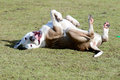 Mastiff dog rolling over on grass and being silly Stock Photos