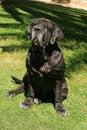 Mastiff neapolitan best friend and bodyguard Royalty Free Stock Image