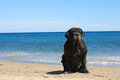 Mastiff neapolitan is sitting on the beach Royalty Free Stock Photos