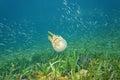 Mastigias jellyfish golden medusa in caribbean sea with shoal of small fish the bocas del toro panama Royalty Free Stock Photo