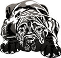 Mastino napoletano puppy Royalty Free Stock Images