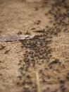Matabele Ants Hunting Termites