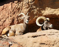 A Mated Pair of Bighorn Sheep Royalty Free Stock Photography