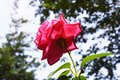 Material for cards. Rose. Royalty Free Stock Photo