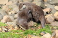 Mating asian otters the couple of small clawed Royalty Free Stock Images