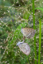 The mating butterflies Royalty Free Stock Photo