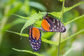 Mating butterflies postman heliconius melpomene madeira on a leaf Stock Photo