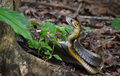 Mating rat snakes Royalty Free Stock Photo