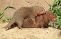 The mating common dwarf mongooses in the sand Stock Photos