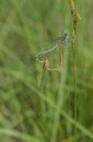 Mating couple of Blue-tailed Damselfly Royalty Free Stock Photo